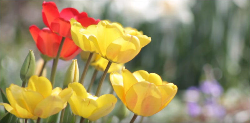 Tulip Fest | Wooden Shoe Tulip Farm | Annual Red and Yellow Tulips at Ocean Suites Motel, Brookings, OR