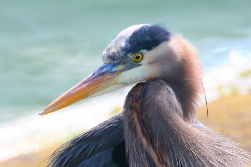 Herons are the long-legged freshwater and coastal birds along Oregon's Southern Coast.