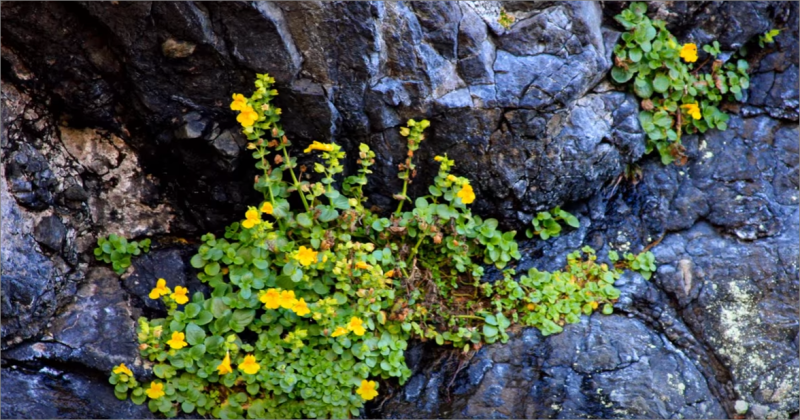 Hardy colorful plants growing in rock cracks at Mill Beach, Brookings, OR | 1.5 miles north of Ocean Suites Motel