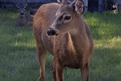 Young Buck born on the Southern Oregon Coast | Ocean Suites Motel, Brookings-Harbor