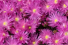 Color-me-Purple-at-Ocean-Suites-Motel Brookings,  Oregon.