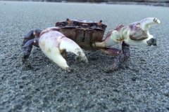 Trophy Crab walked up onto the Sporthaven Beach, just up the block from Ocean Suites Motel, Brookings, OR