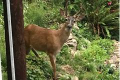 Deer-Peek_A_Boo