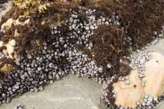 Purple snails, AKA violet sea-snail   Austrailian descendants, They can be seen at low tide along Brookings Oregon coast